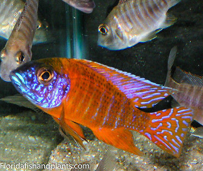 German Red Peacock Aulonocara African Cichlid