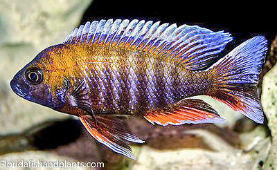 Otter point Peacock, Aulonocara Jacobfreibergi African Cichlid