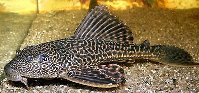 Hypostomus plecostomus Pleco Sucker fish 3-4 inch