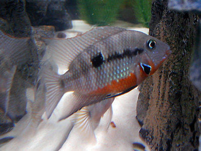 Thorichthys meeki Firemouth Cichlid  1.25-2.0 inch New World Cichlid