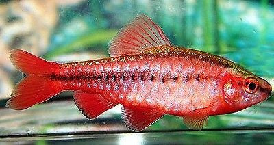 (4) Cherry Barbs