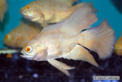 Veil Tail Albino Tiger Oscar (Astronotus ocellatus) 2.5-3.0 inch  New World Cichlid