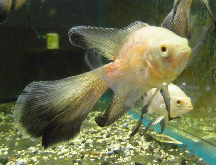 Veil Tail Albino Ruby Oscar (Astronotus ocellatus) 2.5-3.0 inch  New World Cichlid