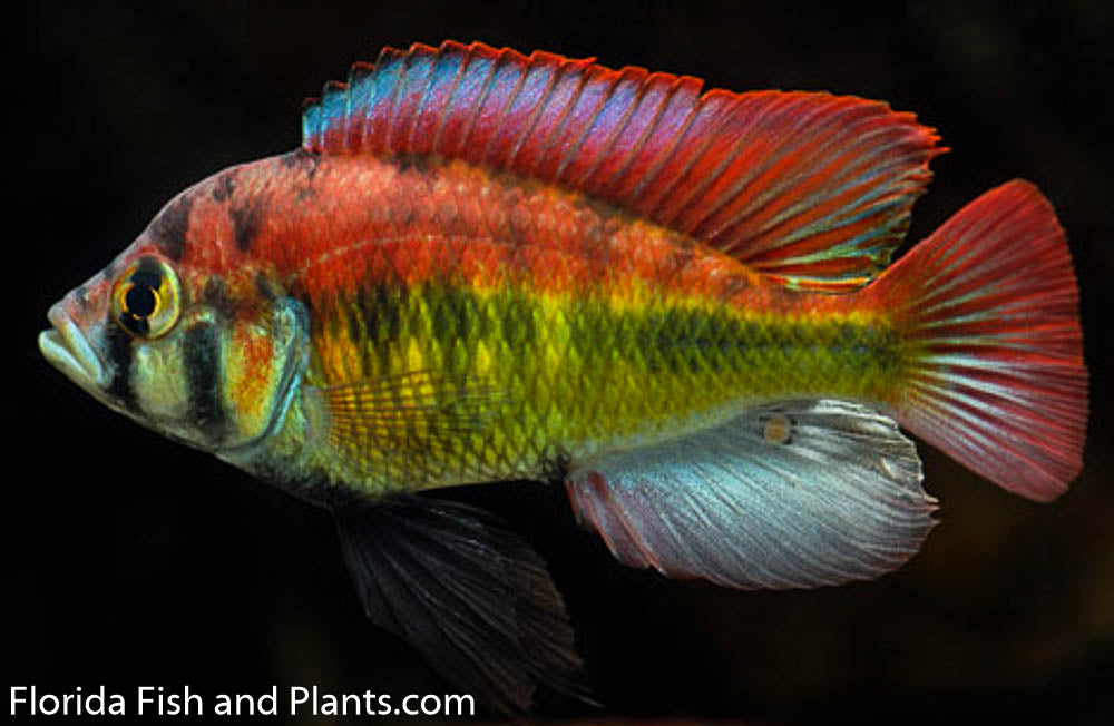 "Astatotilapia Aeneocolor ""yellow belly"" Lake Albert, Victorian, African Cichlid"