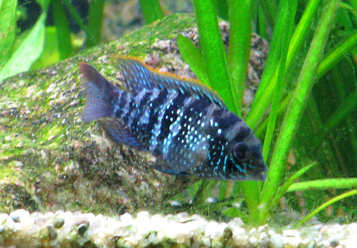 Blue Acara (Andinoacara pulcher) 1.25-2.0 inch  New World Cichlid