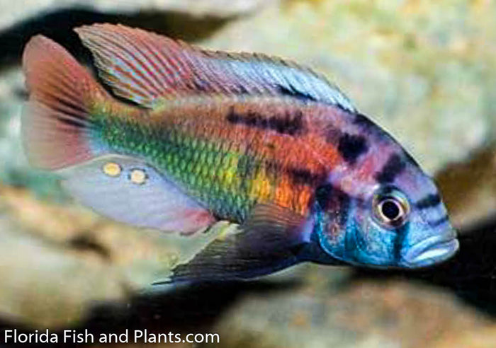 Xystichromis phytophagus (Christmas fulu), Victorian, African Cichlid