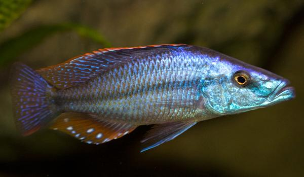 Dimidiochromis compressiceps, Haplochromide, African Cichlid