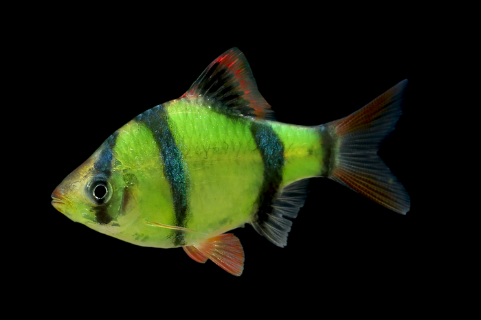 GloFish Electric Green Barb 1 inch