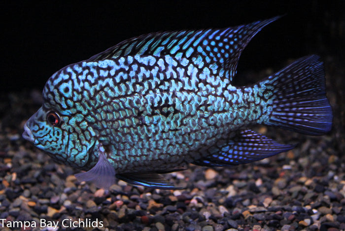 Aztec Carpintis (Electric Blue Carpintis)