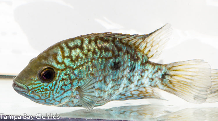 Aztec Carpintis (Electric Blue Carpintis) New World Cichlid