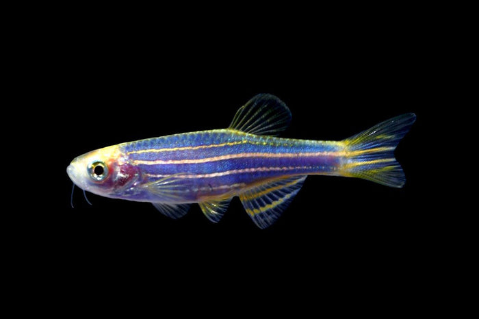 GloFish Cosmic Blue Danio 1 inch Live fish FULLY GUARANTEED