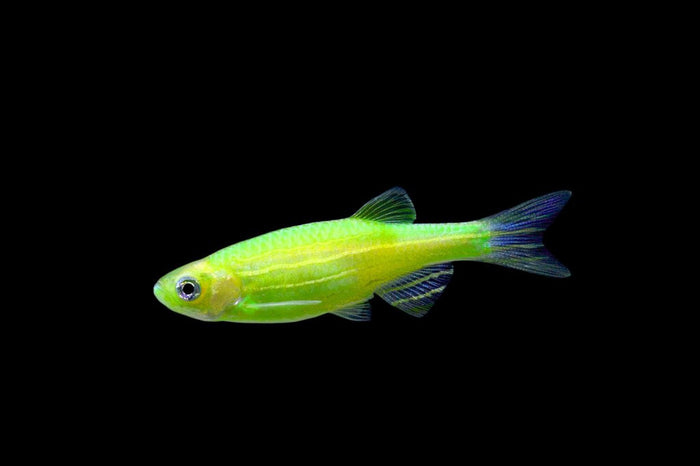GloFish Electric Green Danio 1 inch Live fish FULLY GUARANTEED