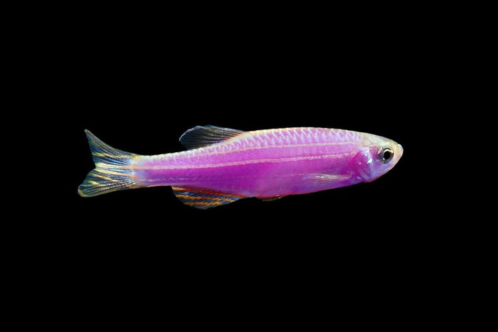 GloFish Galactic Purple Danio 1 inch Live fish FULLY GUARANTEED