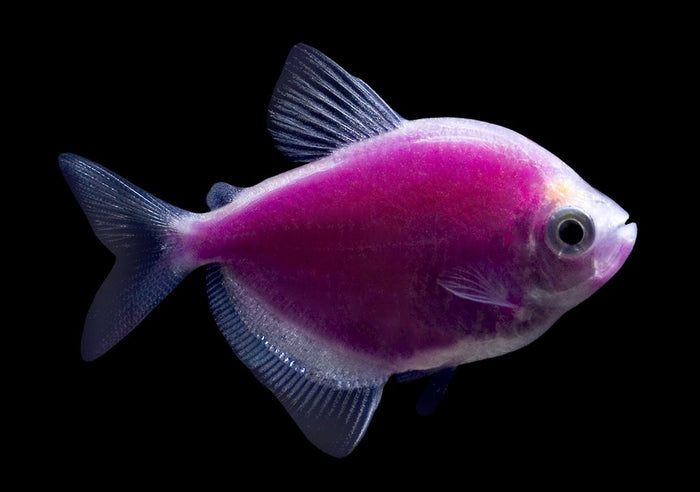 GloFish Galactic Purple Tetra 1 inch Live fish FULLY GUARANTEED