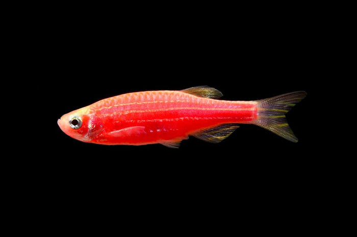 GloFish Starfire Red Danio 1 inch Live fish FULLY GUARANTEED