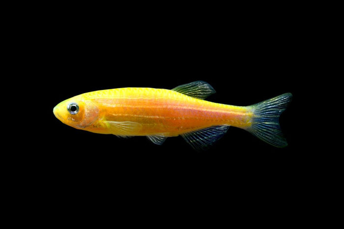 GloFish Sunburst Orange Danio 1 inch Live fish FULLY GUARANTEED