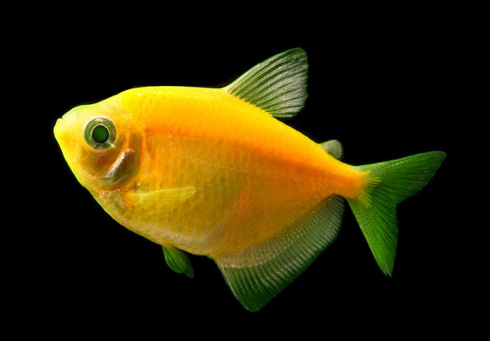 GloFish Sunburst Orange Tetra 1 inch Live fish FULLY GUARANTEED