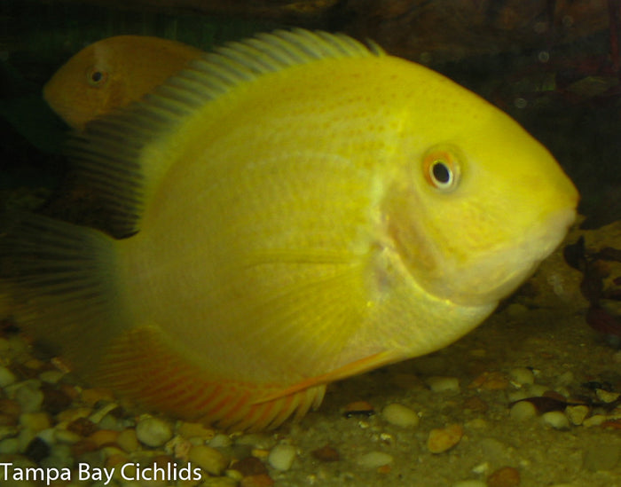 Gold Severum 1.25-2.0 inch New World cichlid