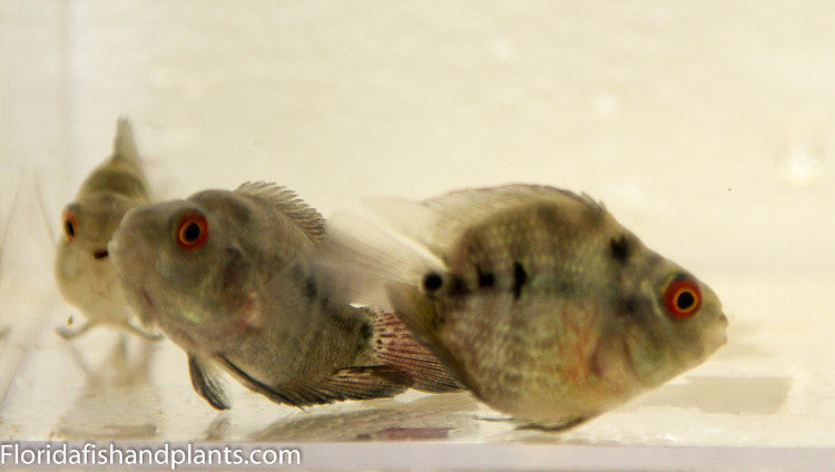 Flowerhorn Parrot approximately 1.75-2.25 inches. Live fish SUPER NICE FISH