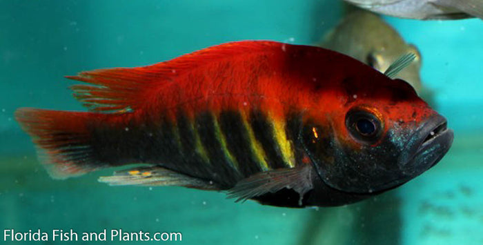 P. Nyererei(Juma Island Red), Red Fin, Victorian, African Cichlid