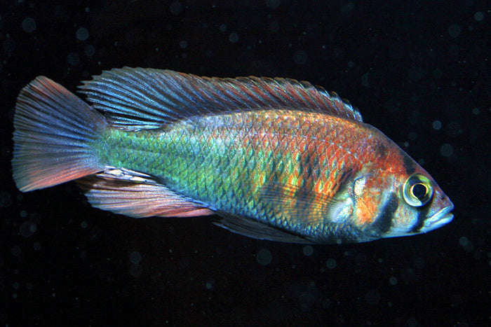 Xystichromis Kyoga Flameback, Victorian, African Cichlid