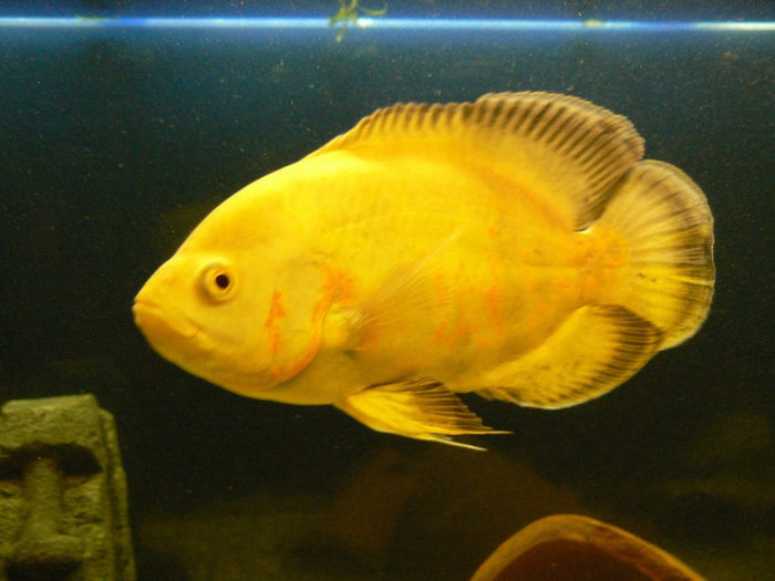 Lemon Oscar (Astronotus ocellatus) 1.25-2.0 inch  New World Cichlid