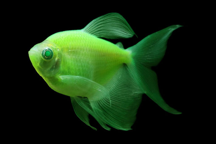 GloFish Long Fin Electric Green Tetra 1 inch Live fish FULLY GUARANTEED