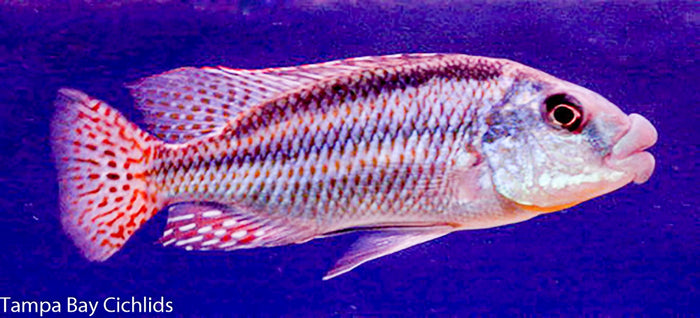 Chilotilapia Euchilus (Malawi Thick Lips), Haplochromide, African Cichlid