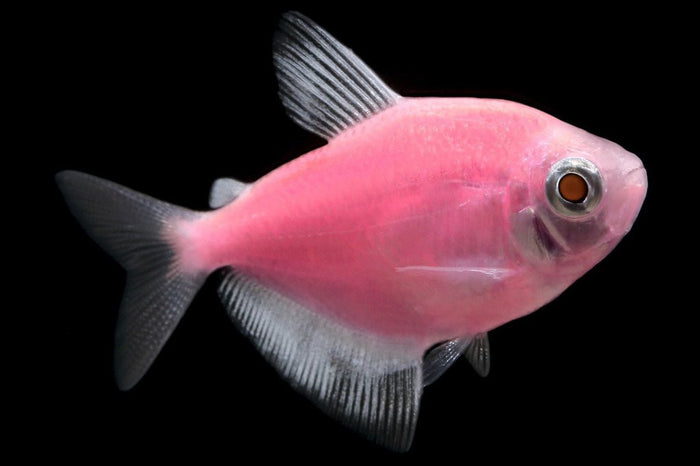 GloFish Moonrise Pink Tetra 1 inch Live fish FULLY GUARANTEED