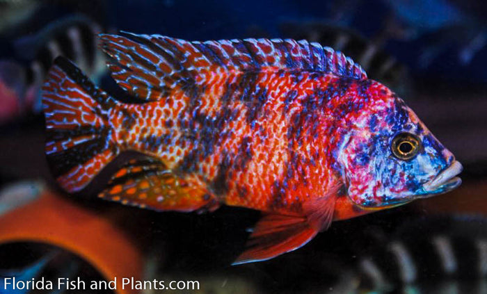 OB Peacock (Orange Bloch) Aulonocara African Cichlid 1.5 inch Live Fish