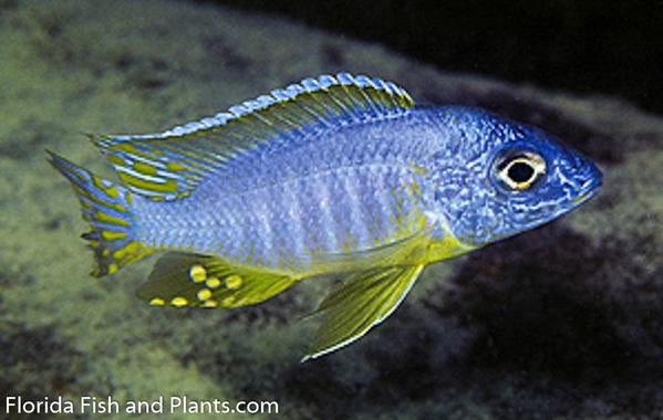 "Protomelas sp. (Steveni Imperial)"" Pombo Rocks, ""Yellow Chin"" Haplochromide African Cichlid"