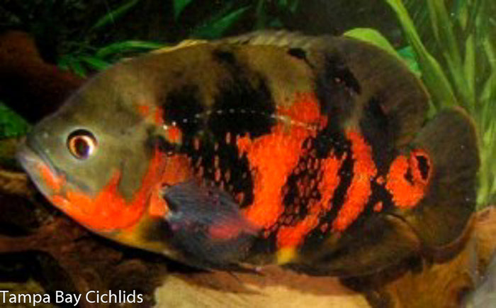 Red Tiger Oscar (Astronotus ocellatus) 1.25-2.0 inch  New World Cichlid
