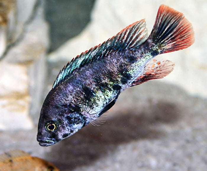 Paralabidochromis sp. red fin piebald 1.5 inch Live Fish African Cichlid