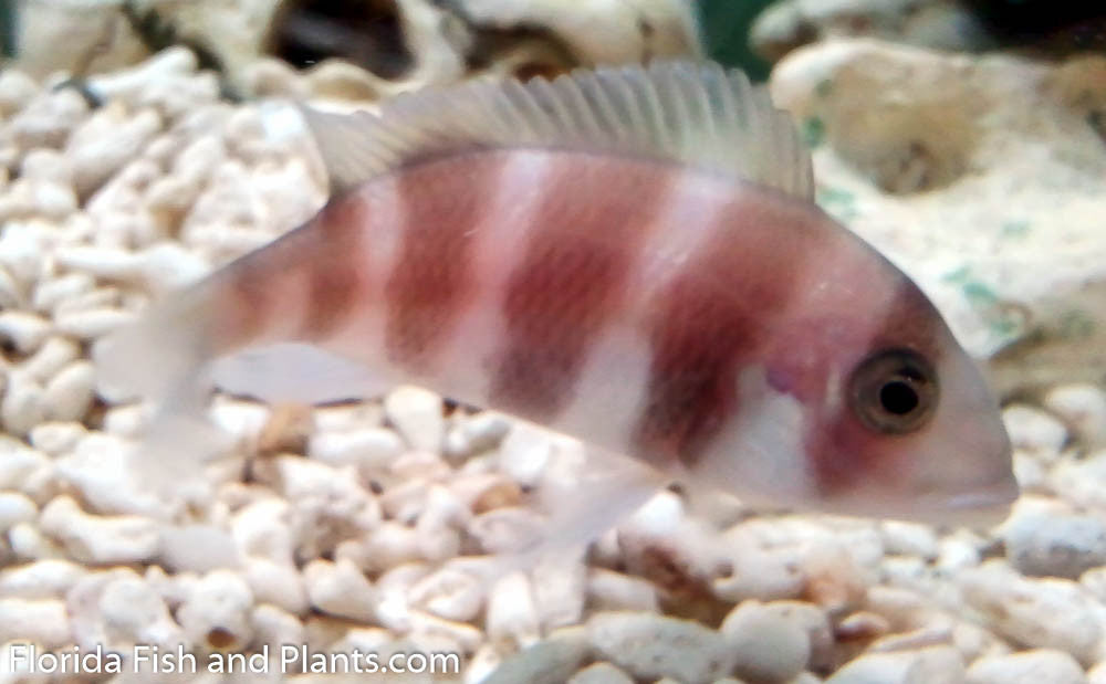 Red Frontosa (Copperband) 1.5-2.0 inch Tanganyikan Cichlid
