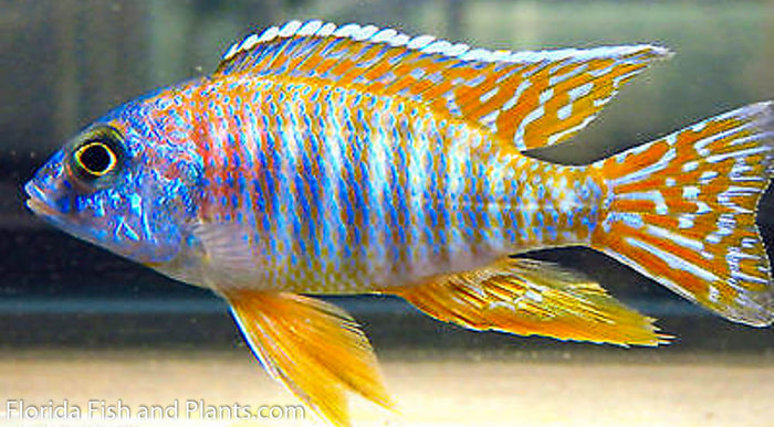 Red Sun Peacock  Aulonocara African Cichlid