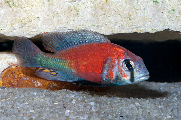 """Hippo Point Salmon"" ""Ptyochromis"" sp. Victorian African Cichlid"