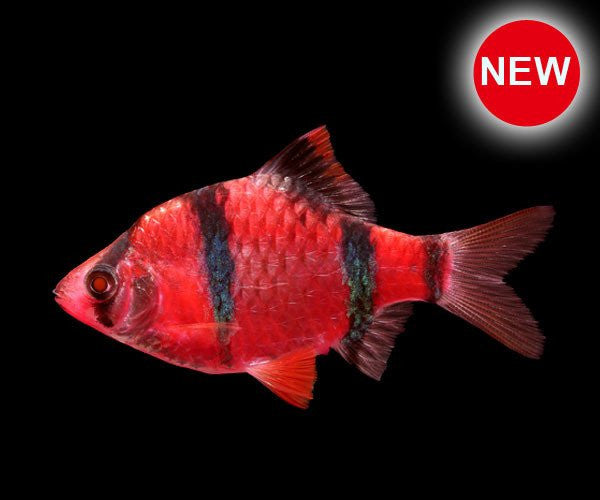 GloFish Starfire Red Barb 1 inch Live fish FULLY GUARANTEED