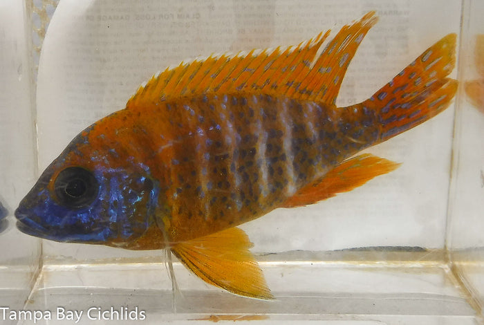 Male Super Red Peacock 3.25-4.0 inch Aulonocara  African Cichlid Live Fish