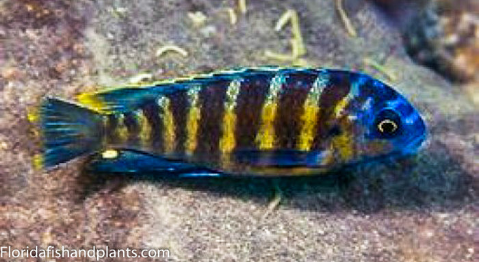 Tropheops sp. Elongatus Boadzulu Kanchedza Island African Cichlid Live Fish