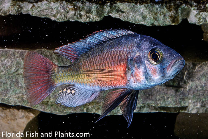 "Paralabidochromis sp. ""Fire Red Ugandan"" Victorian, African Cichlid"
