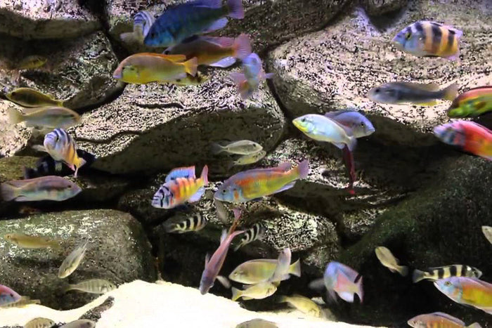 Mixed Lake Victoria 1.25 - 2.25 inches African Cichlid Live Fish
