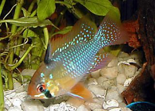Bolivian Ram, Mikrogeophagus altispinosus, New World Cichlid
