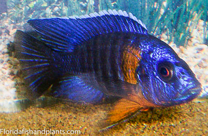 "Chiloelo Peacock ""Orange Band"" Peacock Aulonocara African Cichlid"