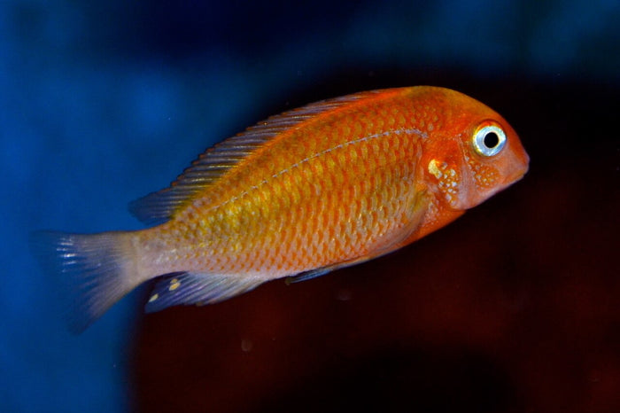 Red Blonde Tropheus  2.0-2.5 inch Tanganyika African Cichlid