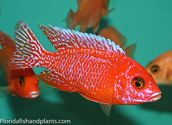 "Firefish Peacock ""Dragon Blood"" Aulonocara African Cichlid"