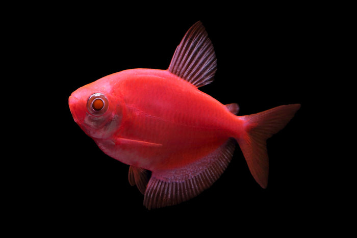 GloFish Star Fire Red Tetra 1 inch Live fish FULLY GUARANTEED