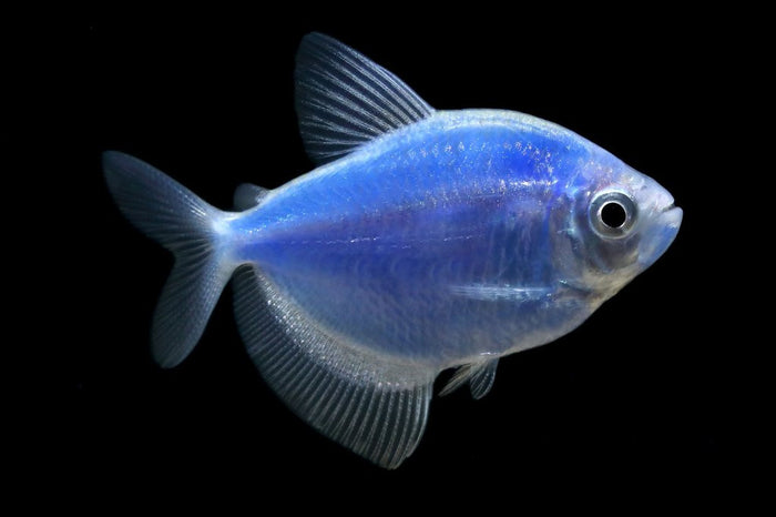 GloFish Cosmic Blue Tetra 1 inch Live fish FULLY GUARANTEED
