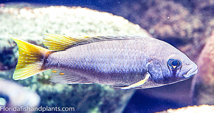 pseudotropheus acei Yellow Tail, Mbuna, Malawi African Cichlid