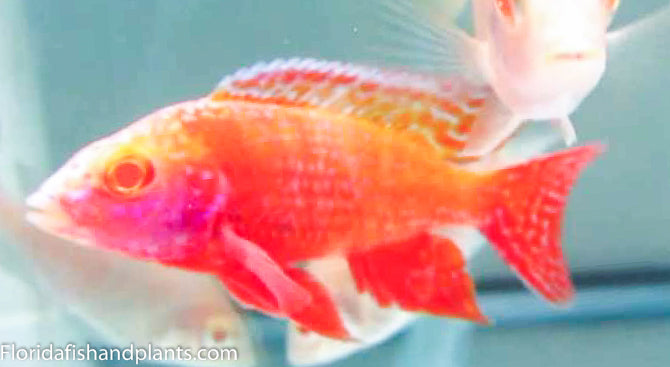 Albino Strawberry Peacock Aulonocara  African Cichlid