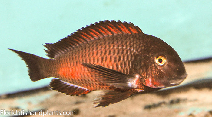 Tropheus Chimba 1.25-2.0 inch Tanganyika African Cichlid